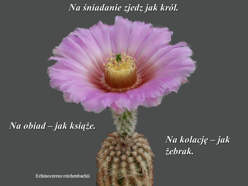 Discocactus pugionacanthus Zapomnij o minionych problemach.