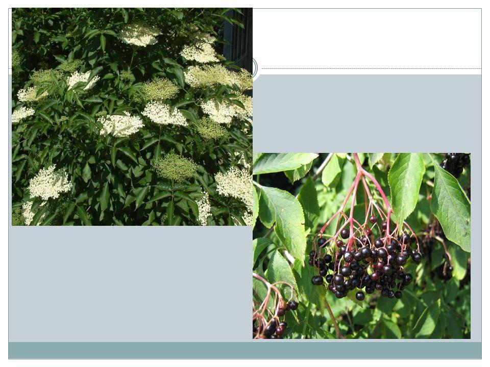 BEZ CZARNY Działanie: kwiaty działają moczopędnie, napotnie, przeciwgorączkowo, wzmacniająco na naczynia krwionośne (zmniejsza kruchość naczyń włosowatych).