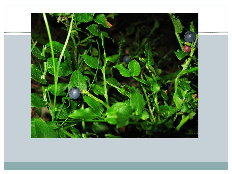 CZARNA JAGODA Działanie : Świeże owoce mają działanie rozluźniające przy zaparciach i jednocześnie przeciwbiegunkowe.