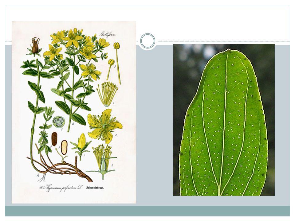 MIĘTA Liście zwiększają wydzielanie soku żołądkowego, pobudzają wytwarzanie żółci, usprawniają pracę jelit.