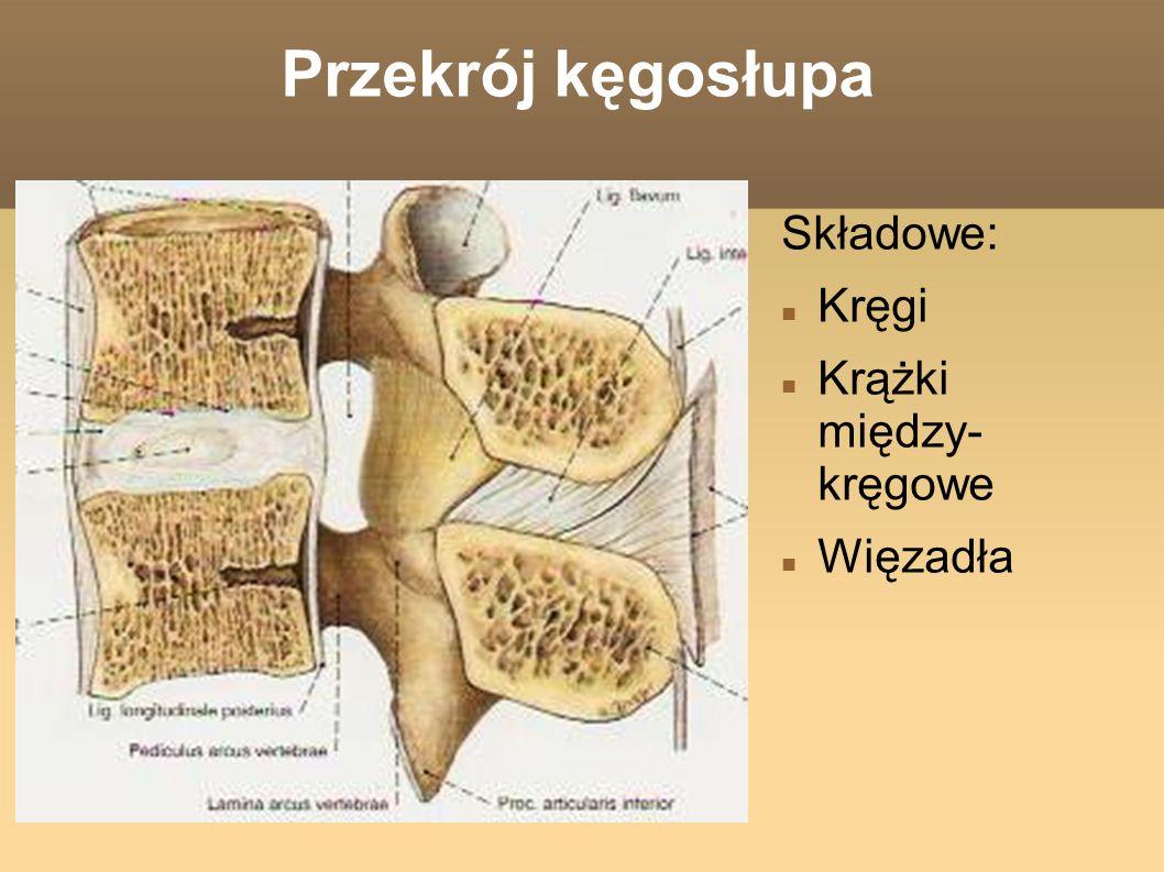 Przekrój kęgosłupa Składowe: Kręgi Krążki między- kręgowe Więzadła