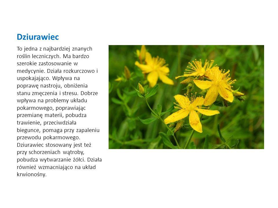 Dziurawiec To jedna z najbardziej znanych roślin leczniczych. Ma bardzo szerokie zastosowanie w medycynie. Działa rozkurczowo i uspokajająco. Wpływa n