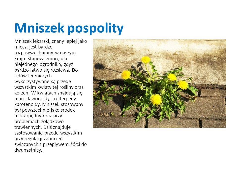 Mniszek pospolity Mniszek lekarski, znany lepiej jako mlecz, jest bardzo rozpowszechniony w naszym kraju. Stanowi zmorę dla niejednego ogrodnika, gdyż