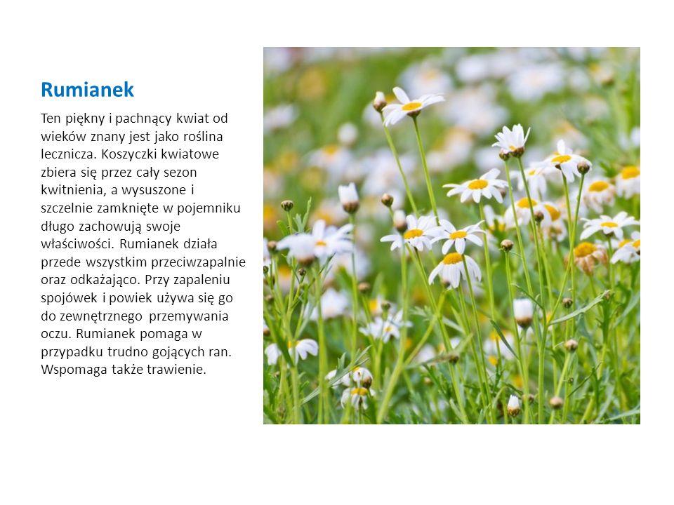 Rumianek Ten piękny i pachnący kwiat od wieków znany jest jako roślina lecznicza. Koszyczki kwiatowe zbiera się przez cały sezon kwitnienia, a wysuszo
