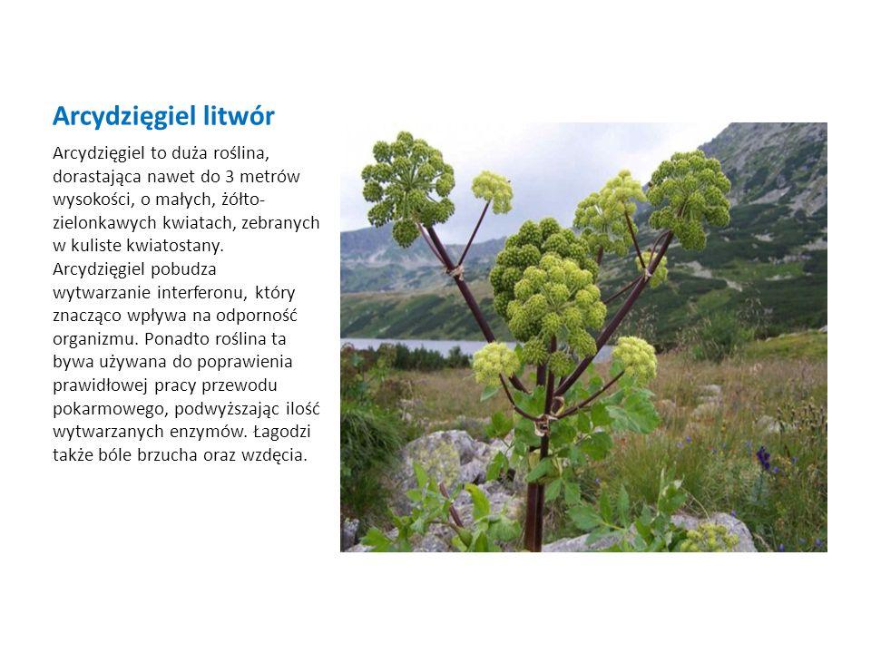Arcydzięgiel litwór Arcydzięgiel to duża roślina, dorastająca nawet do 3 metrów wysokości, o małych, żółto- zielonkawych kwiatach, zebranych w kuliste