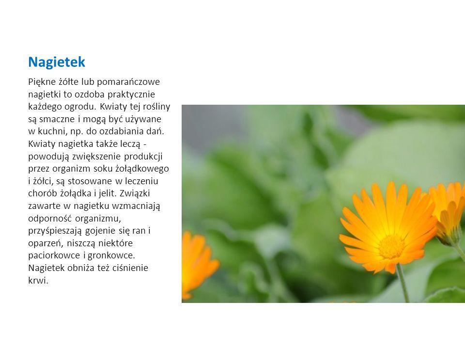 Nagietek Piękne żółte lub pomarańczowe nagietki to ozdoba praktycznie każdego ogrodu. Kwiaty tej rośliny są smaczne i mogą być używane w kuchni, np. d