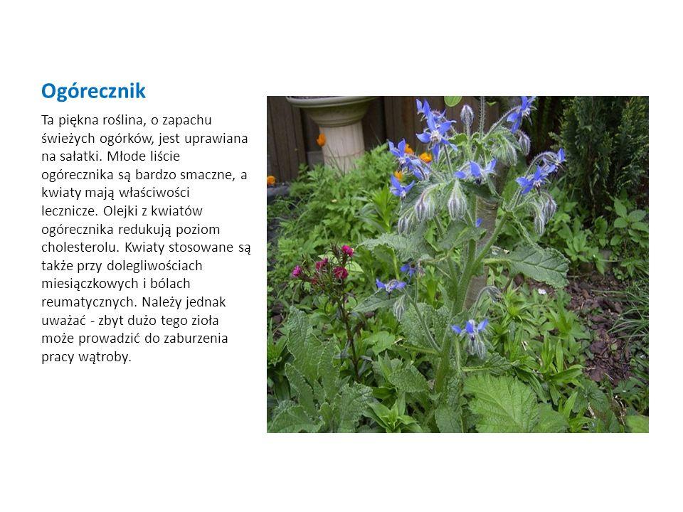Ogórecznik Ta piękna roślina, o zapachu świeżych ogórków, jest uprawiana na sałatki. Młode liście ogórecznika są bardzo smaczne, a kwiaty mają właściw