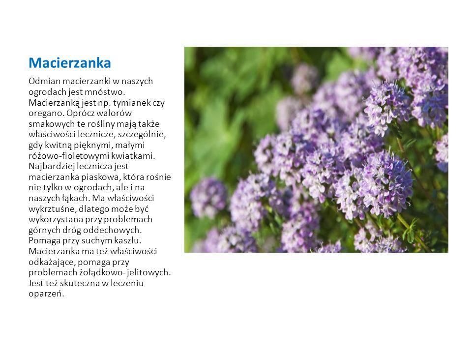 Krwawnik pospolity Krwawnik pospolity jest jedną z najbardziej znanych roślin leczniczych.