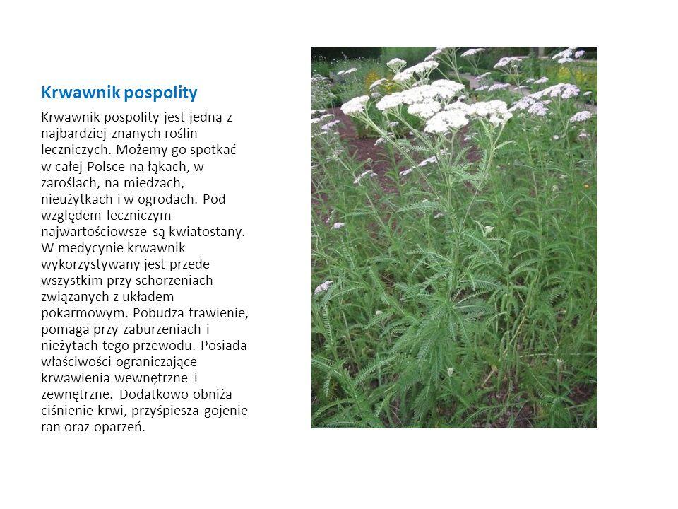 Krwawnik pospolity Krwawnik pospolity jest jedną z najbardziej znanych roślin leczniczych. Możemy go spotkać w całej Polsce na łąkach, w zaroślach, na