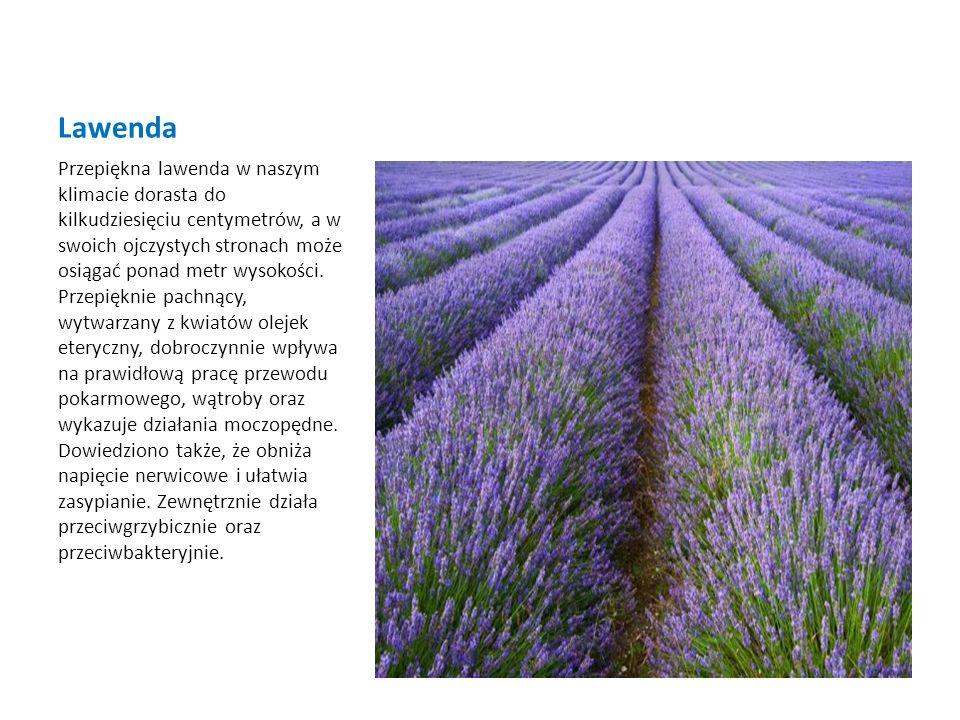 Dziurawiec To jedna z najbardziej znanych roślin leczniczych.