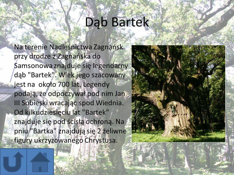 Dąb Bartek Na terenie Nadleśnictwa Zagnańsk przy drodze z Zagnańska do Samsonowa znajduje się legendarny dąb