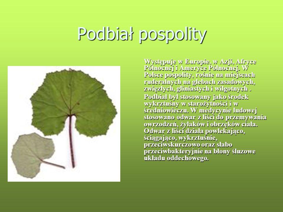 Podbiał pospolity Występuje w Europie, w Azji, Afryce Północnej i Ameryce Północnej. W Polsce pospolity, rośnie na miejscach ruderalnych na glebach za