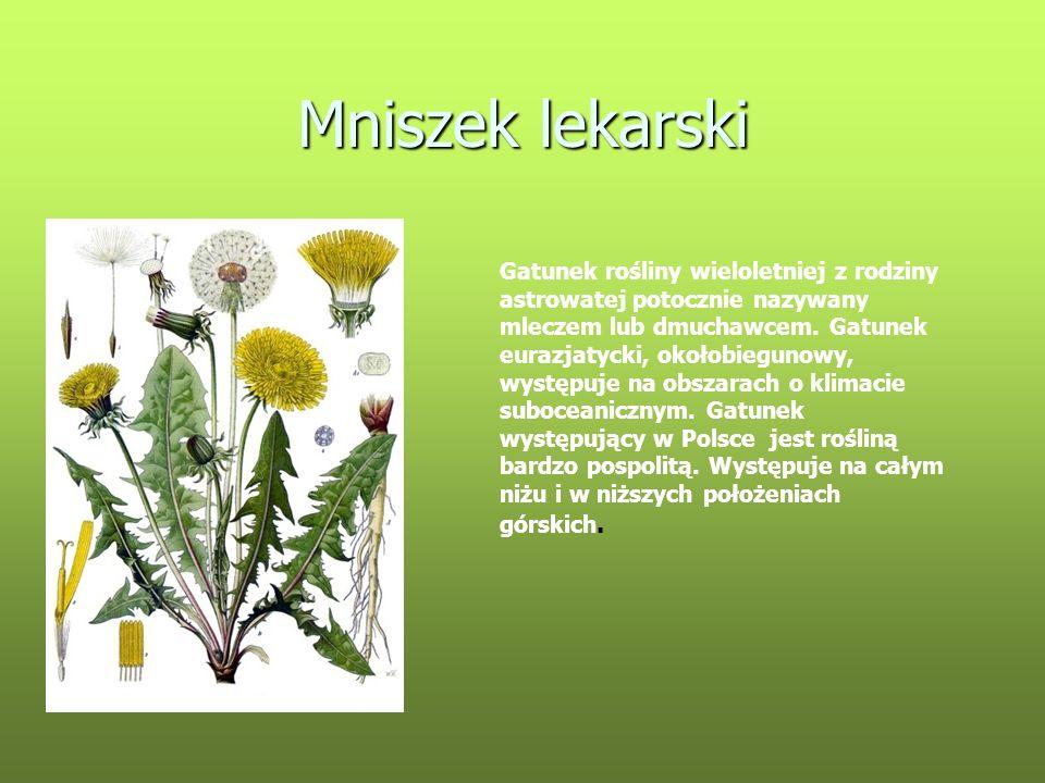 Mniszek lekarski Gatunek rośliny wieloletniej z rodziny astrowatej potocznie nazywany mleczem lub dmuchawcem. Gatunek eurazjatycki, okołobiegunowy, wy