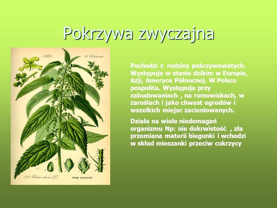 Pokrzywa zwyczajna Pochodzi z rodziny pokrzywowatych. Występuje w stanie dzikim w Europie, Azji, Ameryce Północnej. W Polsce pospolita. Występuje przy
