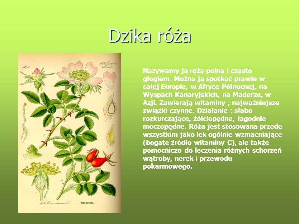 Dzika róża Nazywamy ją różą polną i często głogiem. Można ją spotkać prawie w całej Europie, w Afryce Północnej, na Wyspach Kanaryjskich, na Maderze,