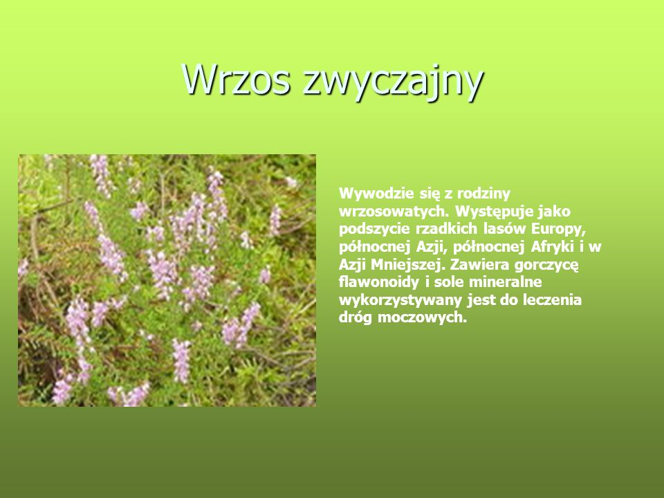Wrzos zwyczajny Wywodzie się z rodziny wrzosowatych. Występuje jako podszycie rzadkich lasów Europy, północnej Azji, północnej Afryki i w Azji Mniejsz