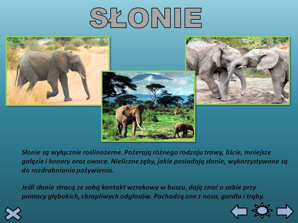 Słonie są wyłącznie roślinożerne. Pożerają różnego rodzaju trawy, liście, mniejsze gałęzie i konary oraz owoce. Nieliczne zęby, jakie posiadają słonie