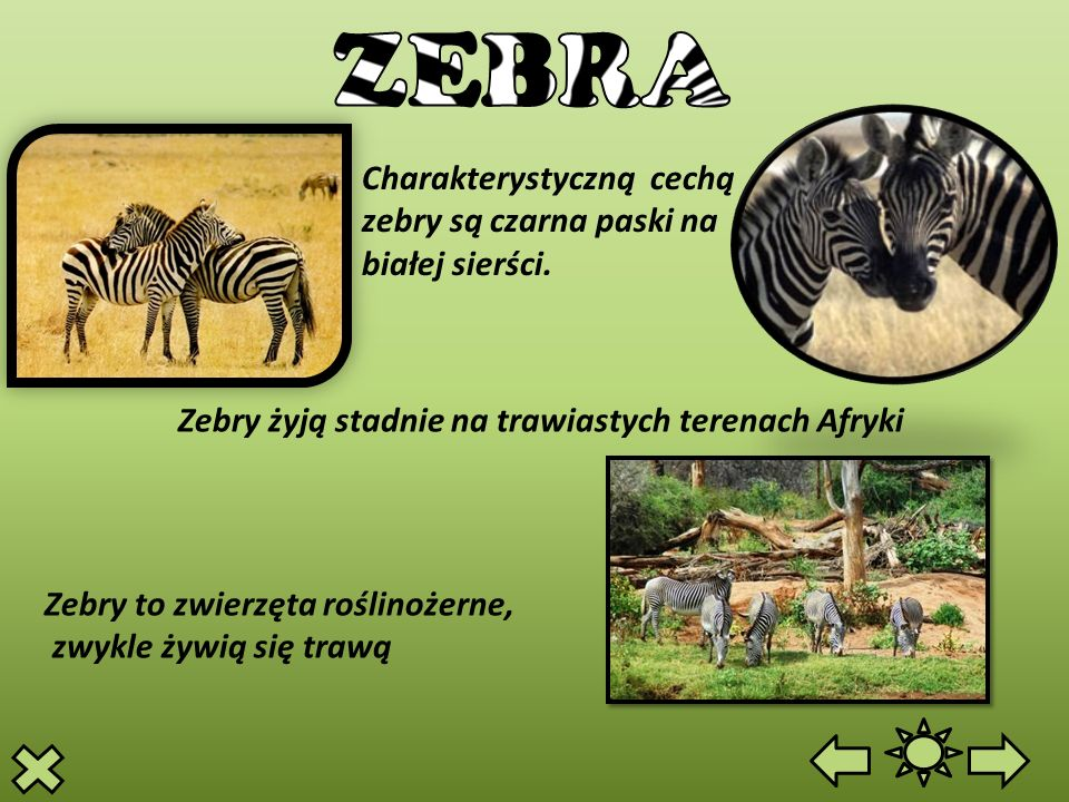 Charakterystyczną cechą zebry są czarna paski na białej sierści. Zebry to zwierzęta roślinożerne, zwykle żywią się trawą Zebry żyją stadnie na trawias