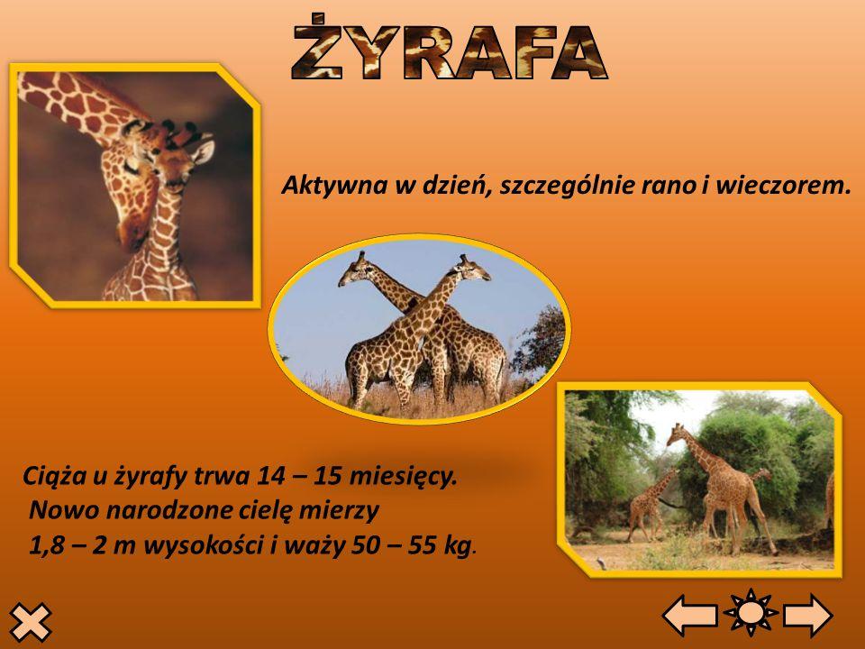 Aktywna w dzień, szczególnie rano i wieczorem. Ciąża u żyrafy trwa 14 – 15 miesięcy. Nowo narodzone cielę mierzy 1,8 – 2 m wysokości i waży 50 – 55 kg