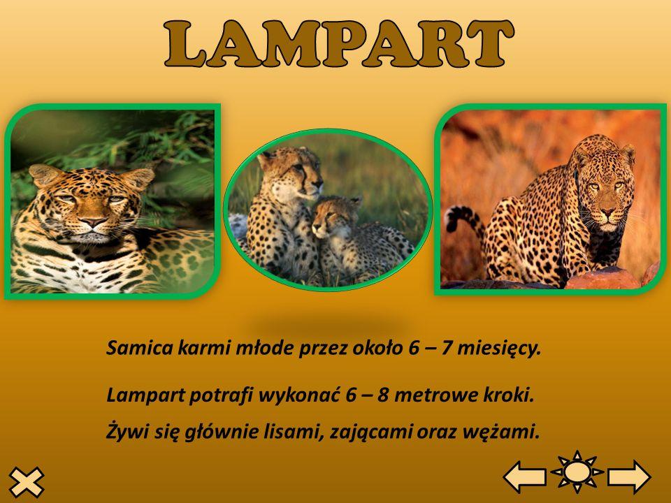 Samica karmi młode przez około 6 – 7 miesięcy. Lampart potrafi wykonać 6 – 8 metrowe kroki. Żywi się głównie lisami, zającami oraz wężami.