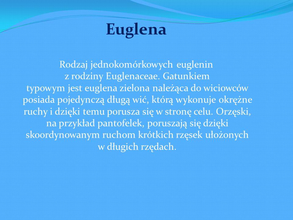Rodzaj jednokomórkowych euglenin z rodziny Euglenaceae. Gatunkiem typowym jest euglena zielona należąca do wiciowców posiada pojedynczą długą wić, któ