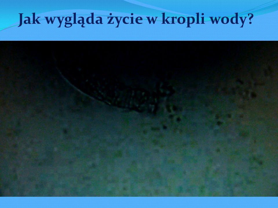 Ameba Euglena Pantofelek Orzęski Świdrowiec Trębacz Gatunki pierwotniaków które opisaliśmy: