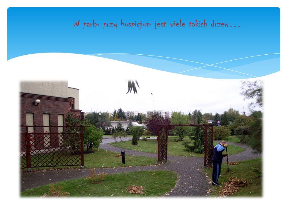 W parku przy hospicjum jest wiele takich drzew…