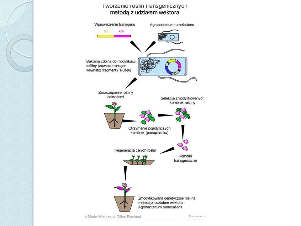 WEKTOR GENETYCZNY Wektor genetyczny – niewielka cząsteczka DNA, służąca do wprowadzania żądanego odcinka DNA do komórki biorcy.