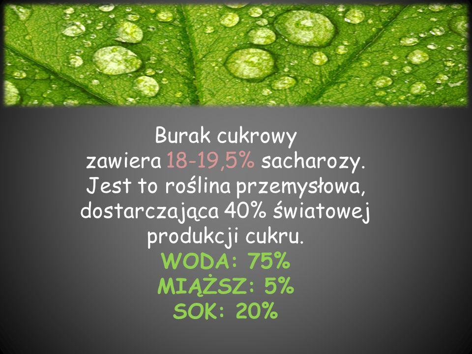 Burak cukrowy zawiera 18-19,5% sacharozy. Jest to roślina przemysłowa, dostarczająca 40% światowej produkcji cukru. WODA: 75% MIĄŻSZ: 5% SOK: 20%