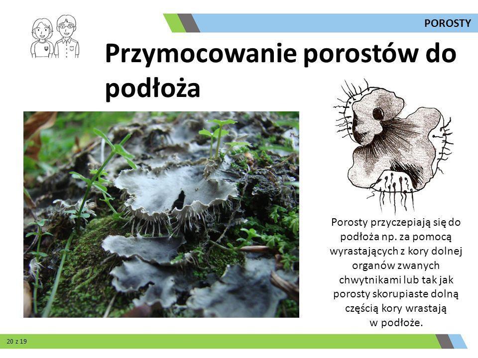 Porosty przyczepiają się do podłoża np. za pomocą wyrastających z kory dolnej organów zwanych chwytnikami lub tak jak porosty skorupiaste dolną części