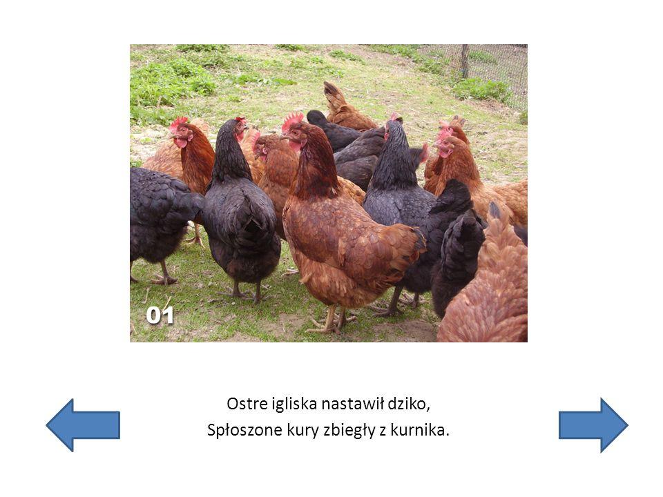 Ostre igliska nastawił dziko, Spłoszone kury zbiegły z kurnika.