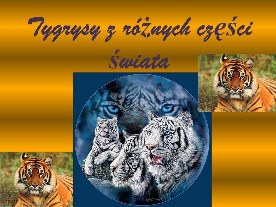 Tygrysy z ró ż nych cz ęś ci ś wiata