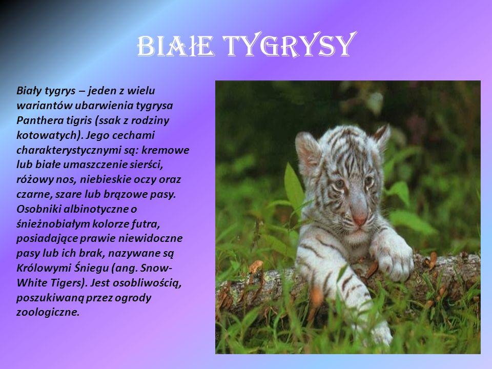 Bia ł e Tygrysy Biały tygrys – jeden z wielu wariantów ubarwienia tygrysa Panthera tigris (ssak z rodziny kotowatych). Jego cechami charakterystycznym