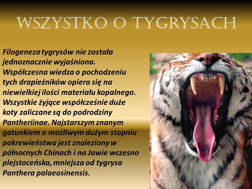 Wszystko o tygrysach Filogeneza tygrysów nie została jednoznacznie wyjaśniona. Współczesna wiedza o pochodzeniu tych drapieżników opiera się na niewie