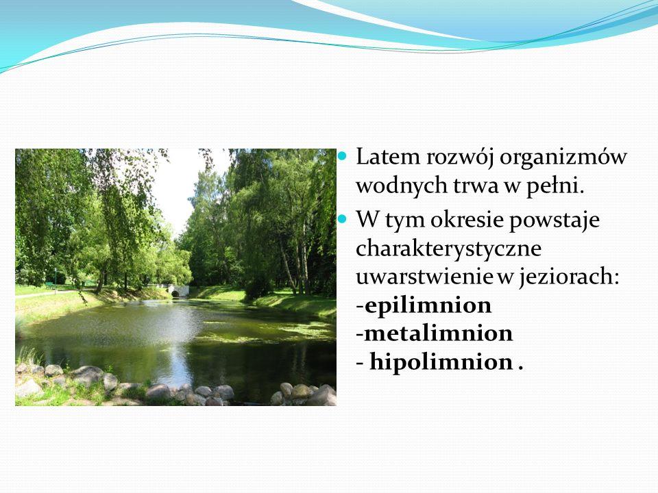 Latem rozwój organizmów wodnych trwa w pełni. W tym okresie powstaje charakterystyczne uwarstwienie w jeziorach: -epilimnion -metalimnion - hipolimnio