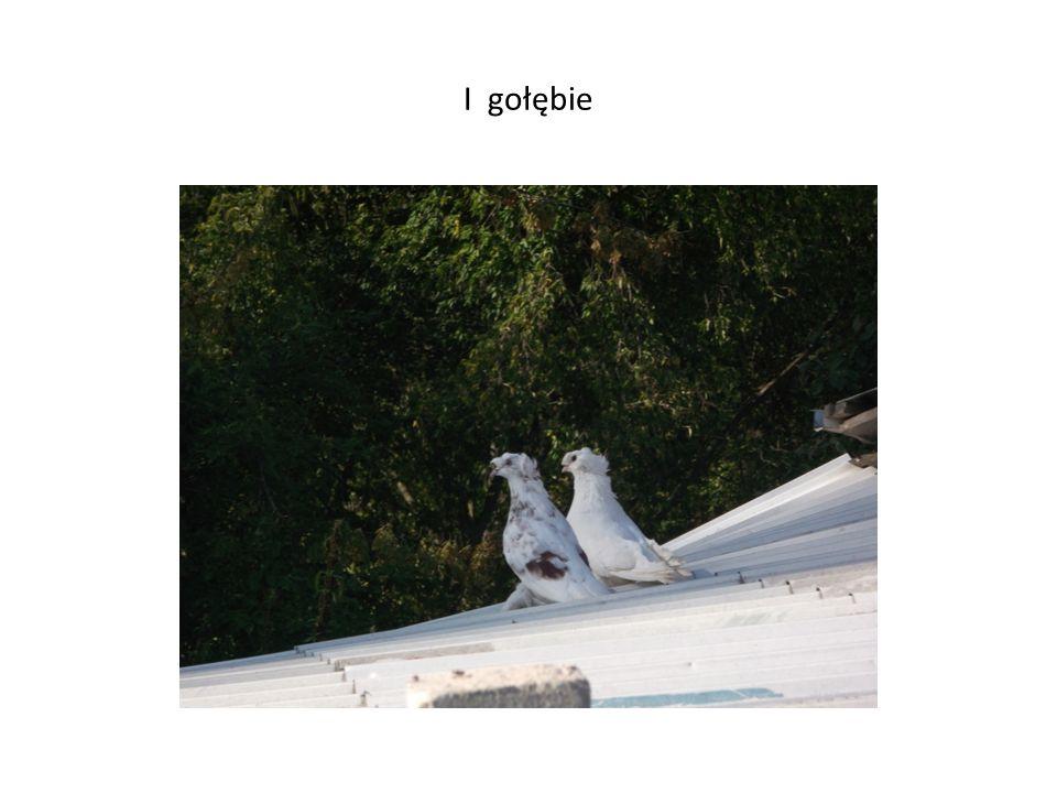 I gołębie