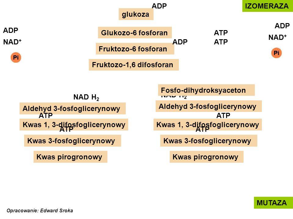 ATP NAD H 2 ADP Glukozo-6 fosforan glukoza Fosfo-dihydroksyaceton Fruktozo-6 fosforan Fruktozo-1,6 difosforan Aldehyd 3-fosfoglicerynowy Kwas 1, 3-difosfoglicerynowy Aldehyd 3-fosfoglicerynowy Kwas 3-fosfoglicerynowy Kwas pirogronowy NAD + NAD H 2 IZOMERAZA ATPNAD + ADP MUTAZA ADP ATP Opracowanie: Edward Sroka