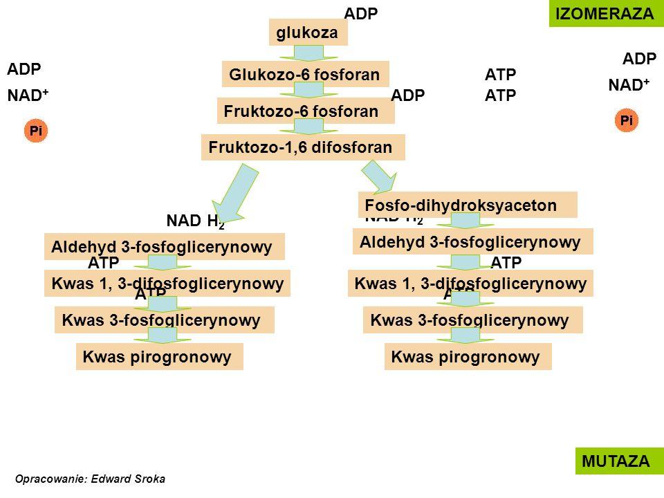 ATP NAD H 2 ADP Glukozo-6 fosforan glukoza Fosfo-dihydroksyaceton Fruktozo-6 fosforan Fruktozo-1,6 difosforan Aldehyd 3-fosfoglicerynowy Kwas 1, 3-dif