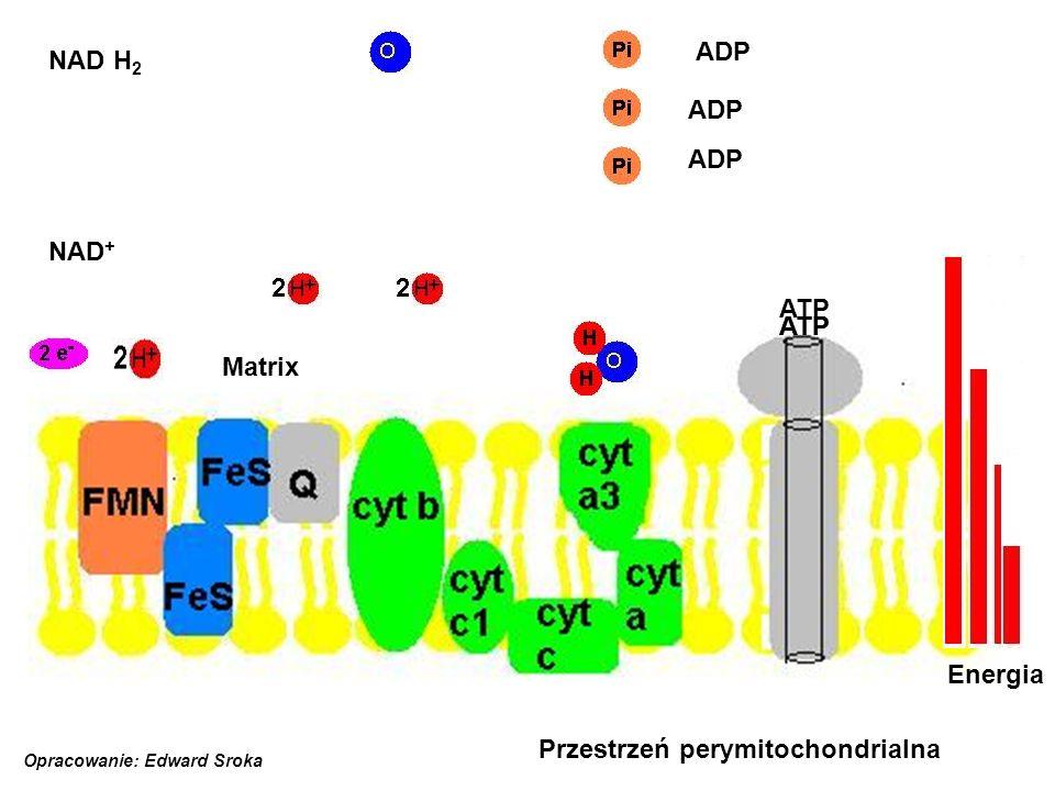 cytrynian jabłczan bursztynian szczawiooctan α-ketoglutaran Acetylo-CoA Kwas pirogronowy NADH 2 ATP CO 2 Glukozo-6 fosforan glukoza Fruktozo-6 fosforan Fruktozo-1,6 difosforan Aldehyd 3-fosfoglicerynowy Kwas 1, 3-difosfoglicerynowy Kwas 3-fosfoglicerynowy Kwas pirogronowy ADP ATP ADP ATP NAD NADH 2 ADP ATP NAD NADH 2 CO 2 NAD NADH 2 NAD ATP ADP NAD NADH 2 FADH 2 FAD Oddychanie tlenowe= -1 x 2 x 2 = 4 x 2 = 2 = 6 = 4 = 2 Razem: 36 ATP Opracowanie: Edward Sroka