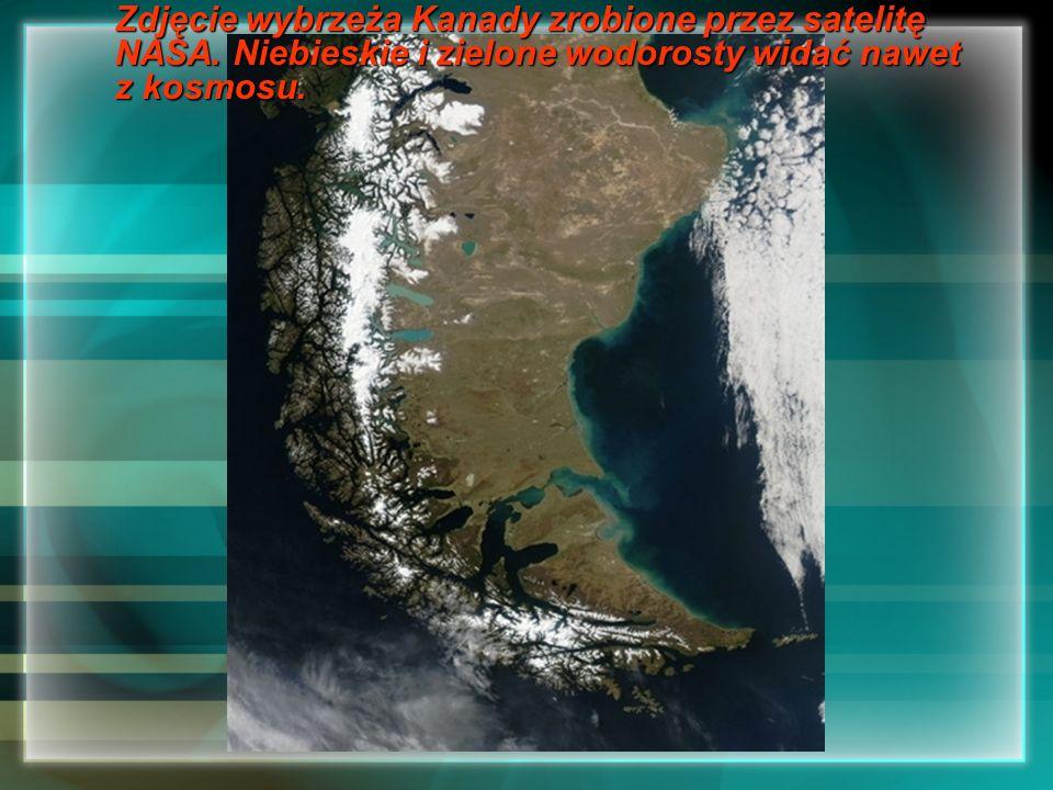 Zdjęcie wybrzeża Kanady zrobione przez satelitę NASA. Niebieskie i zielone wodorosty widać nawet z kosmosu.