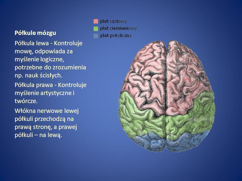 Półkule mózgu Półkula lewa - Kontroluje mowę, odpowiada za myślenie logiczne, potrzebne do zrozumienia np. nauk ścisłych. Półkula prawa - Kontroluje m