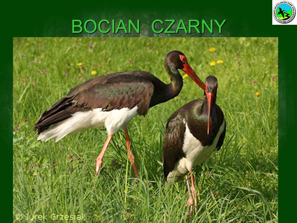 BOCIAN CZARNY