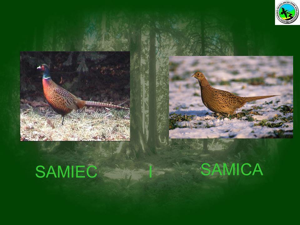 SAMIEC SAMICA I