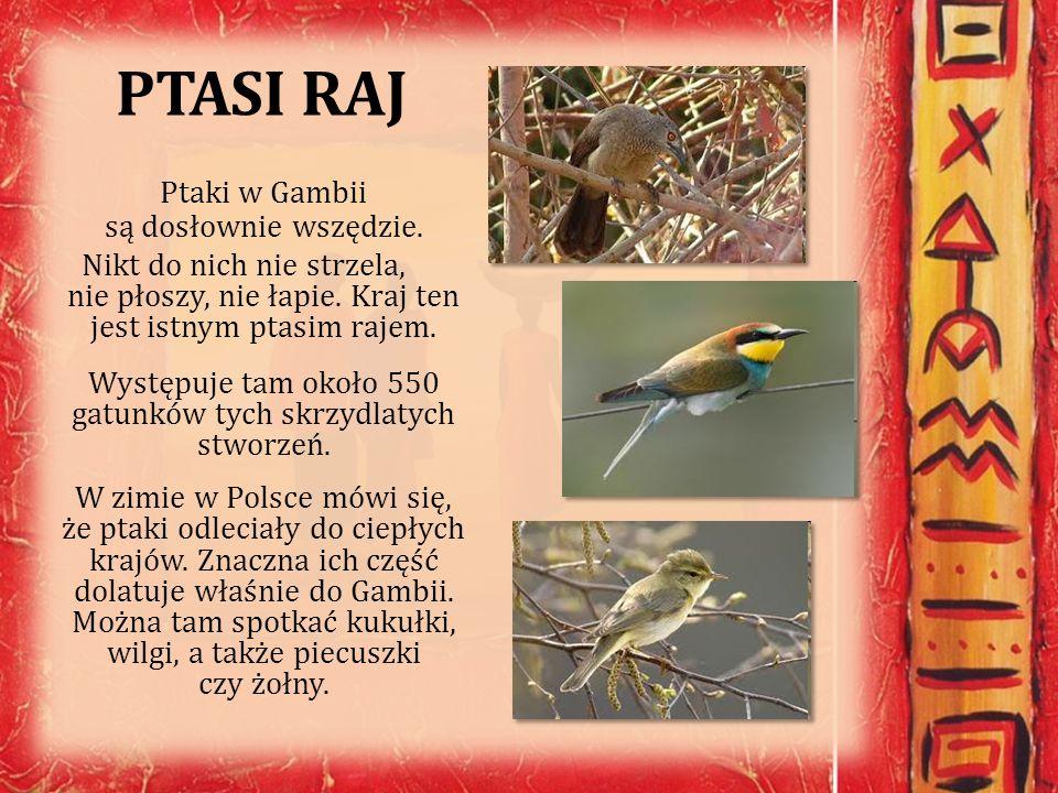 PTASI RAJ Ptaki w Gambii są dosłownie wszędzie. Nikt do nich nie strzela, nie płoszy, nie łapie. Kraj ten jest istnym ptasim rajem. Występuje tam okoł