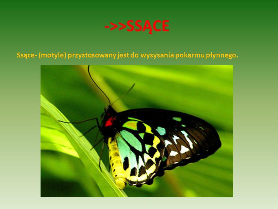 ->>SSĄCE Ssące- (motyle) przystosowany jest do wysysania pokarmu płynnego.