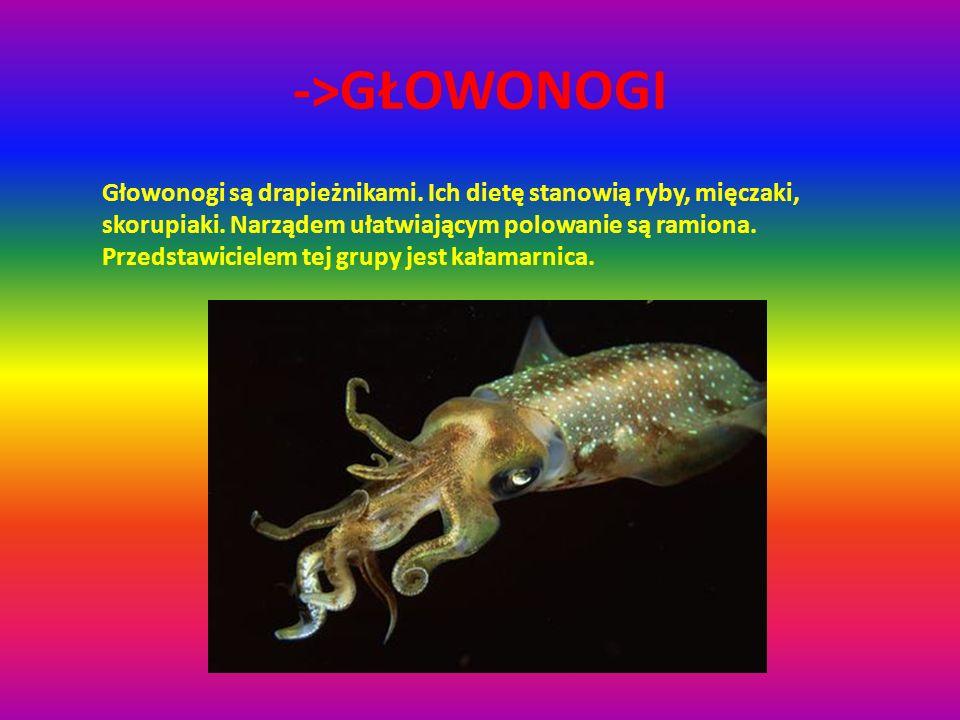 ->GŁOWONOGI Głowonogi są drapieżnikami. Ich dietę stanowią ryby, mięczaki, skorupiaki. Narządem ułatwiającym polowanie są ramiona. Przedstawicielem te