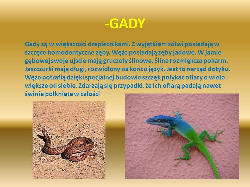 -GADY Gady są w większości drapieżnikami. Z wyjątkiem żółwi posiadają w szczęce homodontyczne zęby. Węże posiadają zęby jadowe. W jamie gębowej swoje