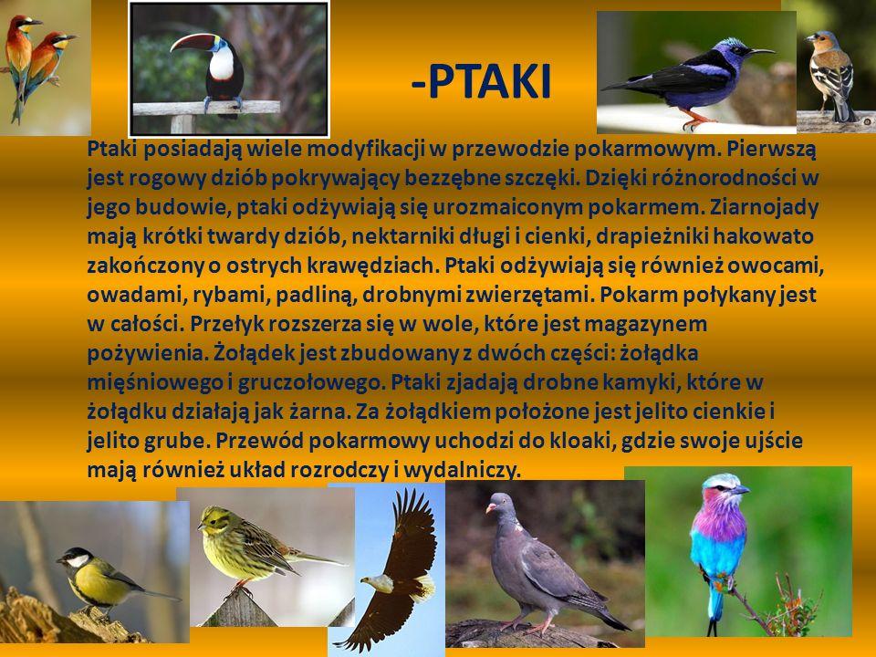 -PTAKI Ptaki posiadają wiele modyfikacji w przewodzie pokarmowym. Pierwszą jest rogowy dziób pokrywający bezzębne szczęki. Dzięki różnorodności w jego
