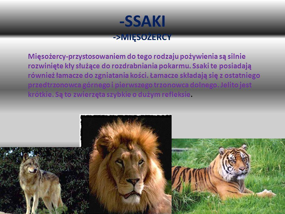 -SSAKI ->MIĘSOŻERCY Mięsożercy-przystosowaniem do tego rodzaju pożywienia są silnie rozwinięte kły służące do rozdrabniania pokarmu. Ssaki te posiadaj