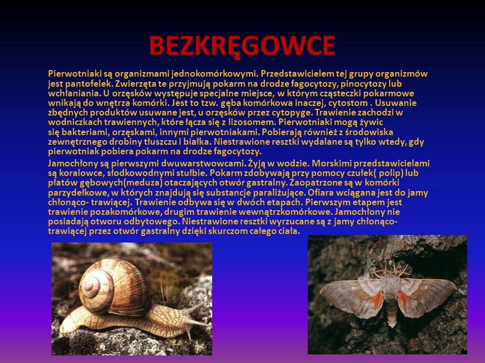 BEZKRĘGOWCE Pierwotniaki są organizmami jednokomórkowymi. Przedstawicielem tej grupy organizmów jest pantofelek. Zwierzęta te przyjmują pokarm na drod